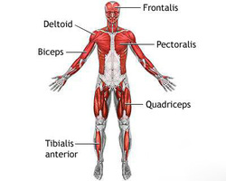 all about muscules - the muscular system, Muscles